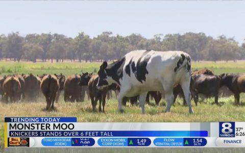 Knickers: La vaca más grande del mundo