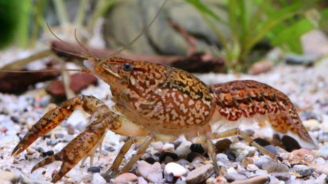 El cangrejo de mármol, la especie mutante que se clona a sí misma y está invadiendo varias partes del mundo