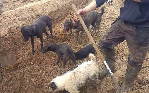 Terriers cazando ratas