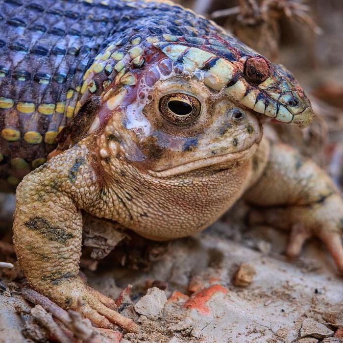 Serpiente muerta mientras se intentaba comer a un sapo venenoso.