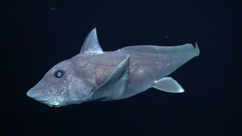 Primera vez que captan en vídeo al tiburón fantasma, una rara especie que habita en las profundidades marinas