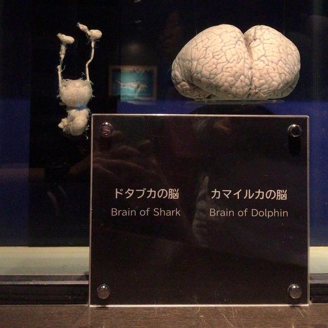 Cerebro de un tiburón vs cerebro de un delfín.