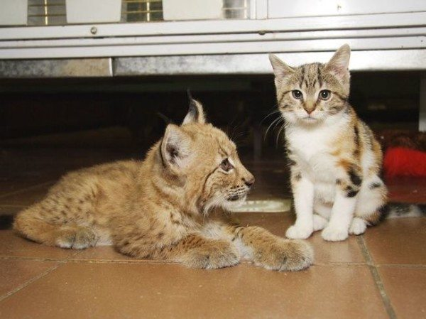 Un gato y un lince: los curiosos amigos de un zoo de Leningrado
