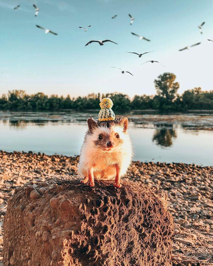 Mr. Pokee el erizo más fotogénico y famoso de Instagram (1,6mm de seguidores)