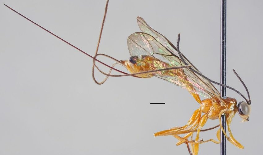 Científico descubre una especie de avispa parásita y la bautiza con el nombre de su mujer