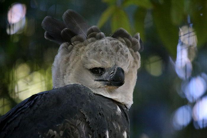 El águila harpía es un ave tan grande que hay quien cree que es una persona disfrazada