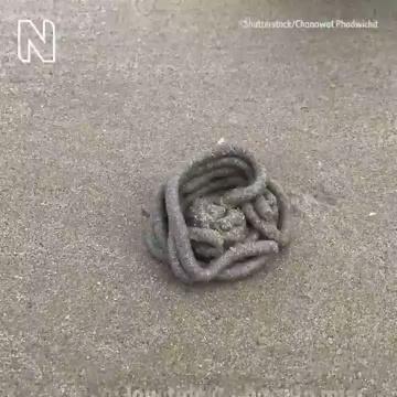 CAGÓN: el bicho que construye gusanos de arena a la orilla del mar