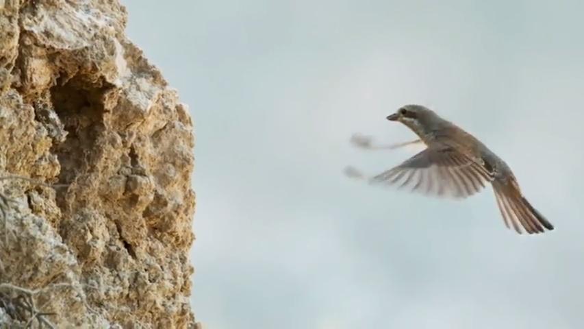 Víbora de cola de araña comiéndole la cabeza a un pájaro