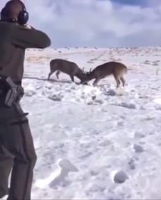 Dos ciervos están enganchados por los cuernos y un ranger lo soluciona metiéndoles un escopetazo