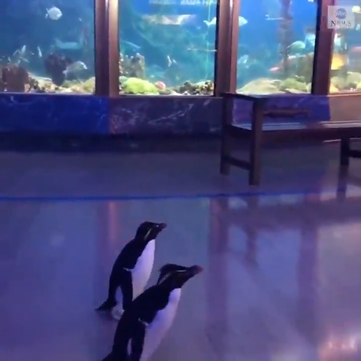 El acuario de Chicago cierra por coronavirus, y aprovecha para dejar a los pingüinos pasear por el recinto