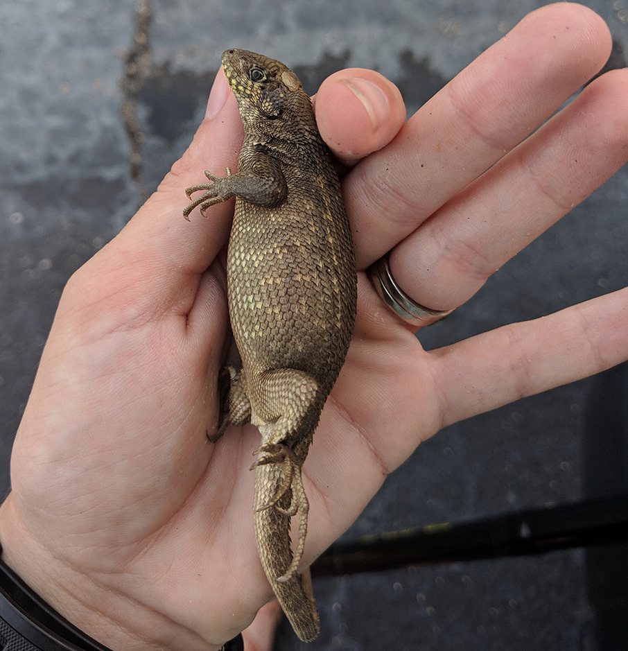 No, esta lagartija no estaba embarazada, era todo CACA