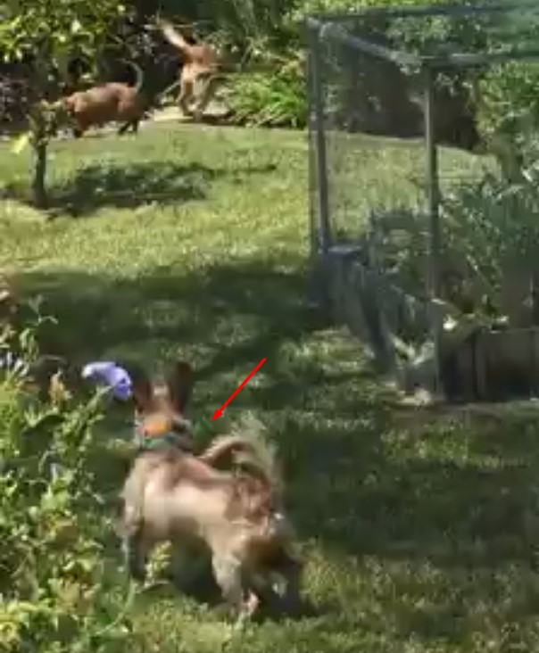 Un oso se cuela en una parcela con 3 perros