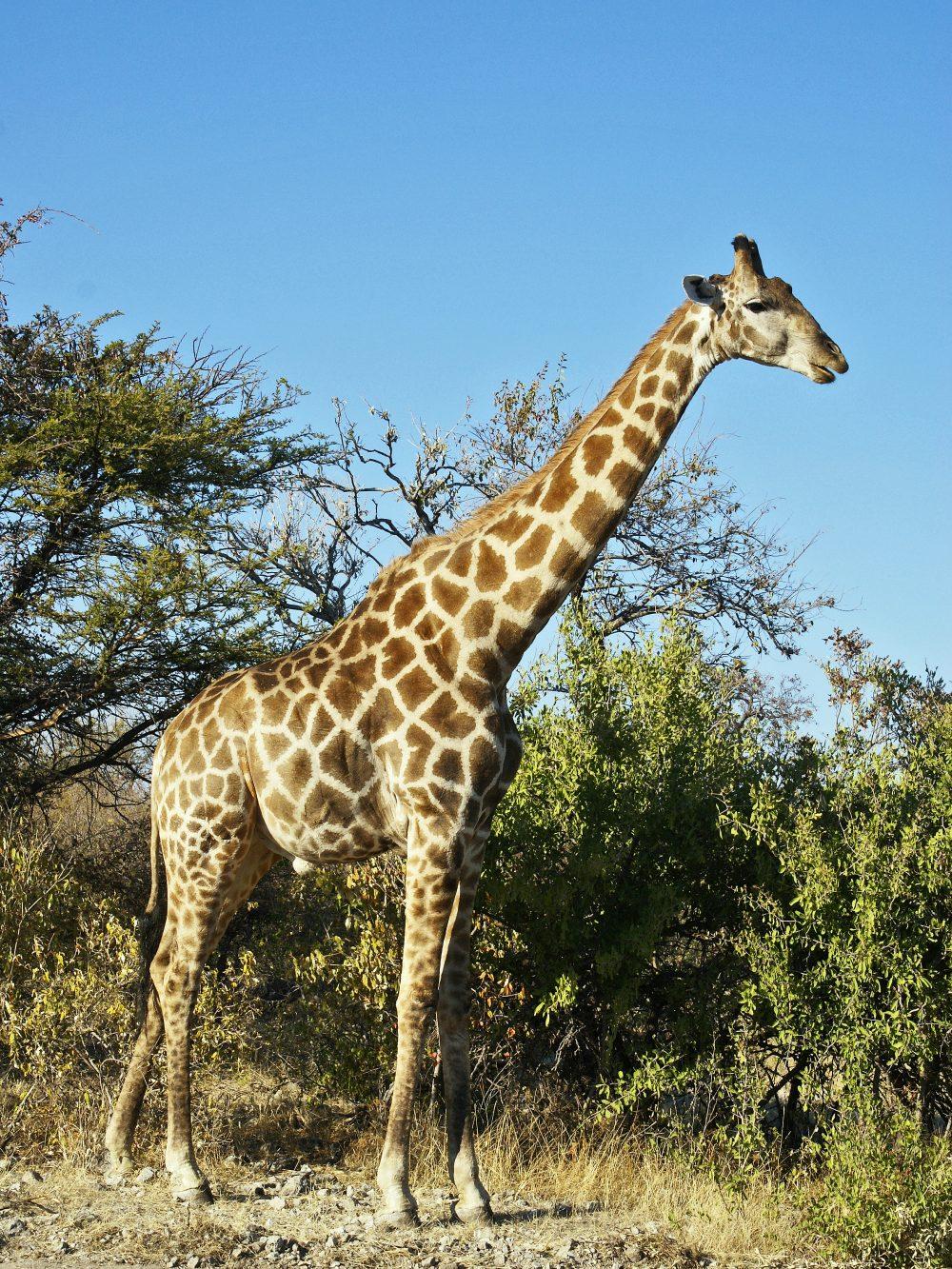 ¿Por qué los unicornios no existen pero las jirafas sí? Es mucho más creíble un caballo con un cuerno en la cabeza que un leopardo-alce con un cuello de 12 metros