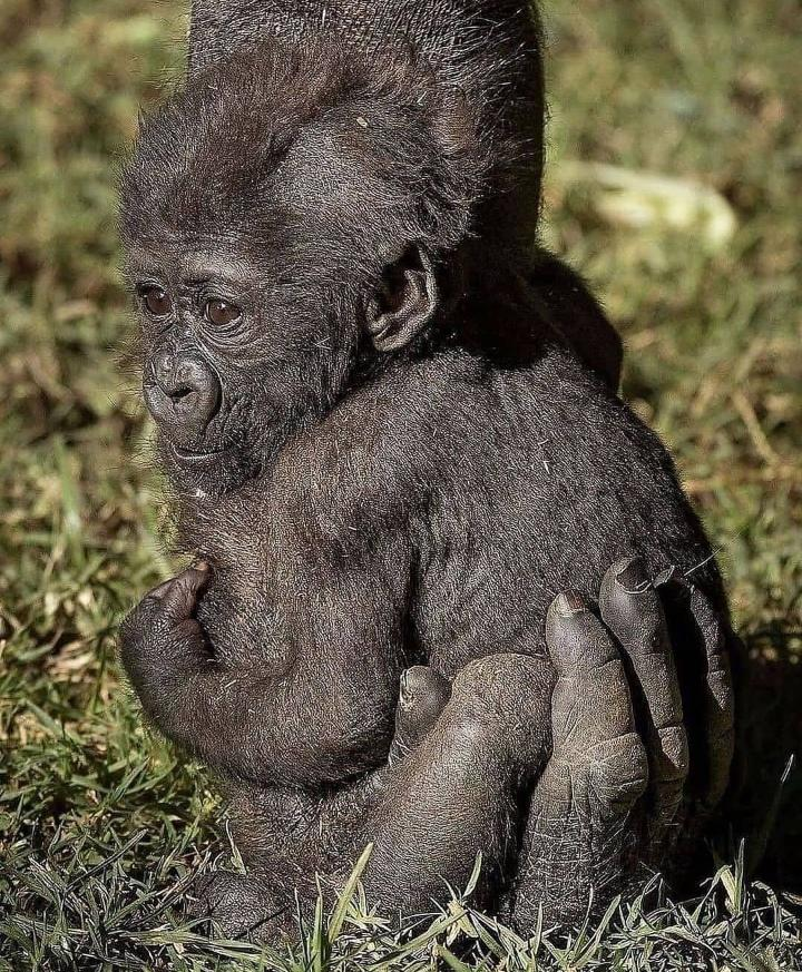 Una cría de gorila agarrando la mano de su madre