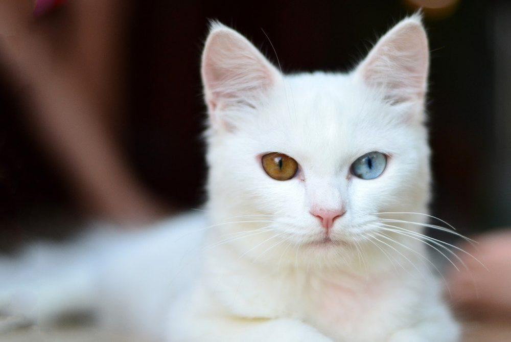 ¿Sabías que los gatos blancos con ojos azules... SON SORDOS?