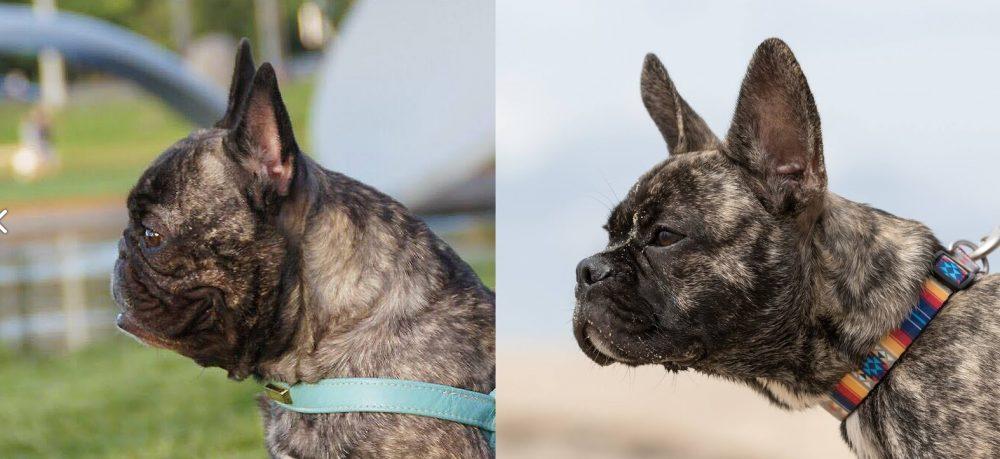 El perro de la izquierda es Arnie, un Buldog Francés AKG ganador de varios certámenes perrunos
