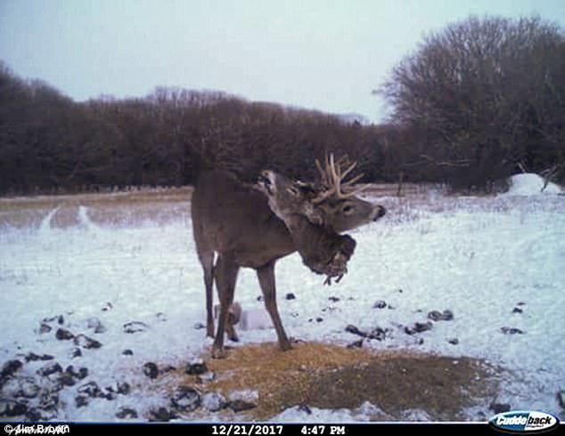 Muchas astas para un ciervo... Pocos ciervos para 4 astas